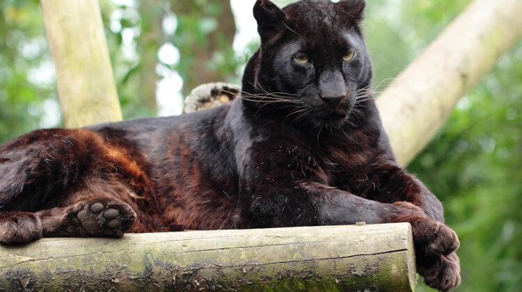 Big cat at exmoor zoo