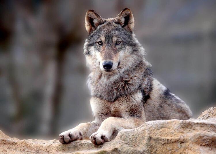 Wolf at Exmoor Zoo
