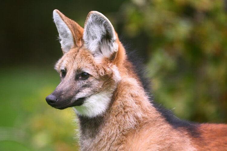Maned wolf at Exmoor Zoo