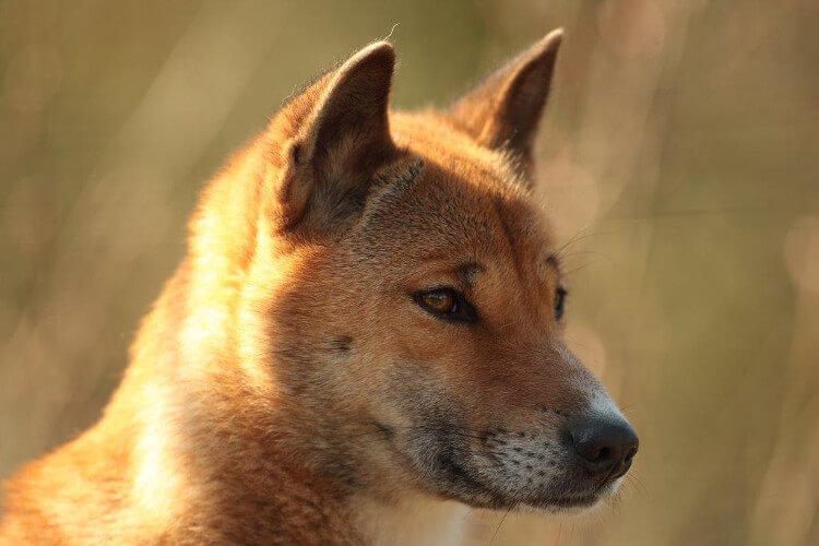 Singing dog at Exmoor zoo