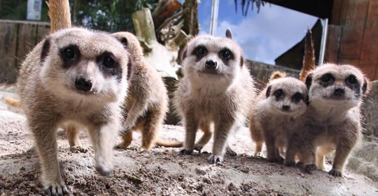 Group of meerkats at exmoor zoo