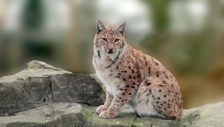 Lynx at Exmoor zoo