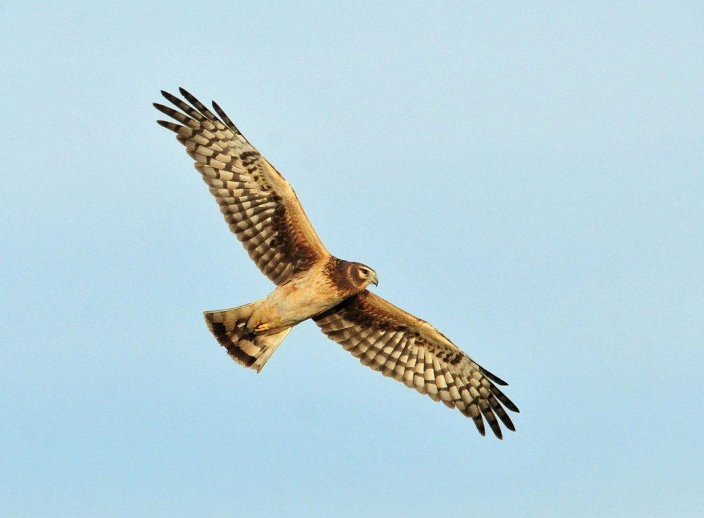 Photo of a Hen Harrier flying