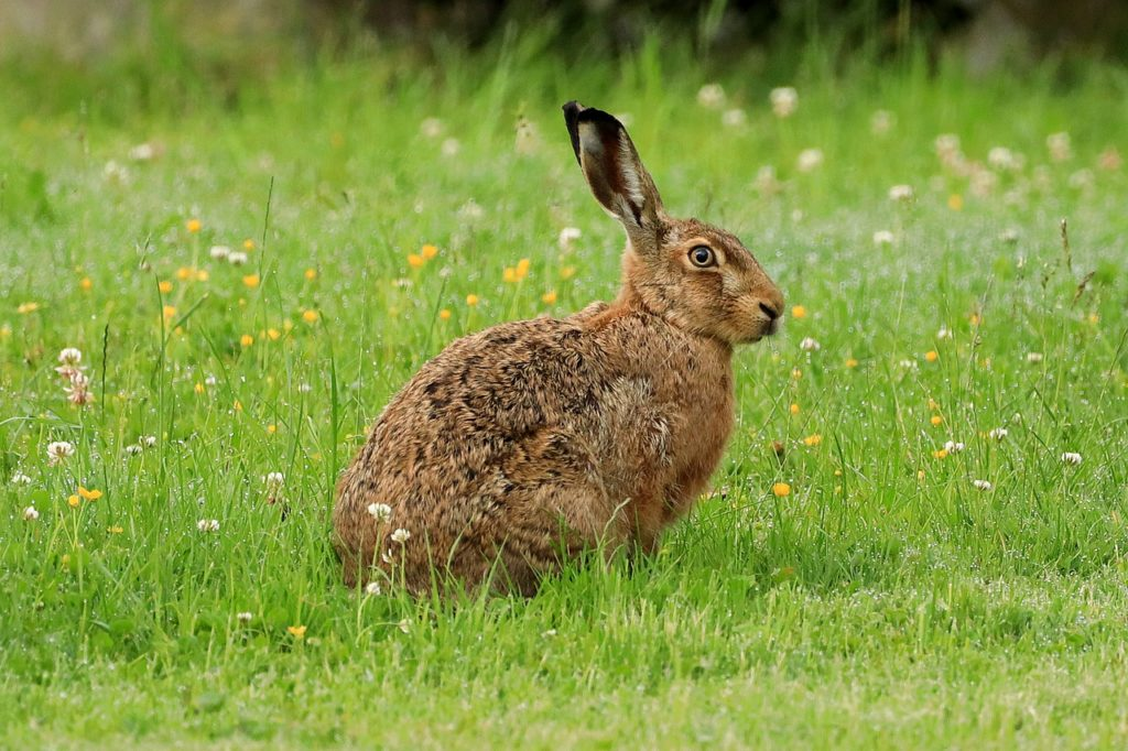 Photo of a brown hare sat in a field