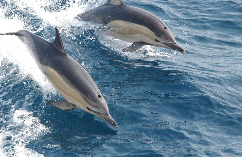 Common dolphins in their natural habitat swimming in the ocean
