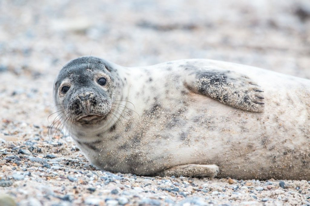 Photo of a grey seal lying down