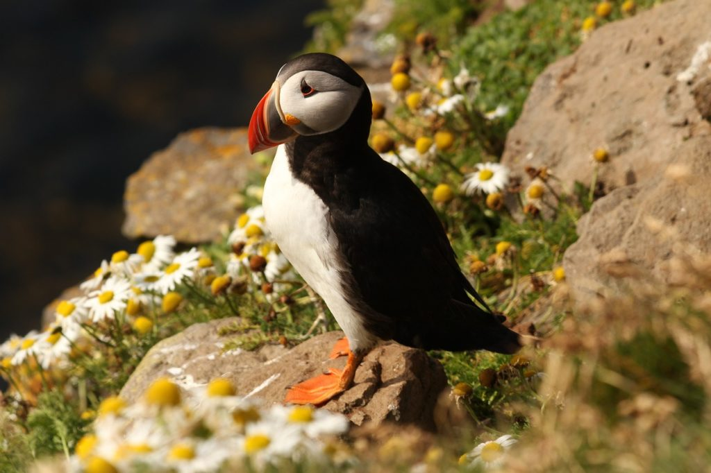 A puffin stood on a rock surrounded by large daisy flowers
