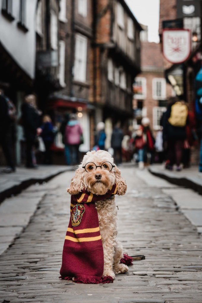 Cockapoo Marley dressed up as harry potter in York