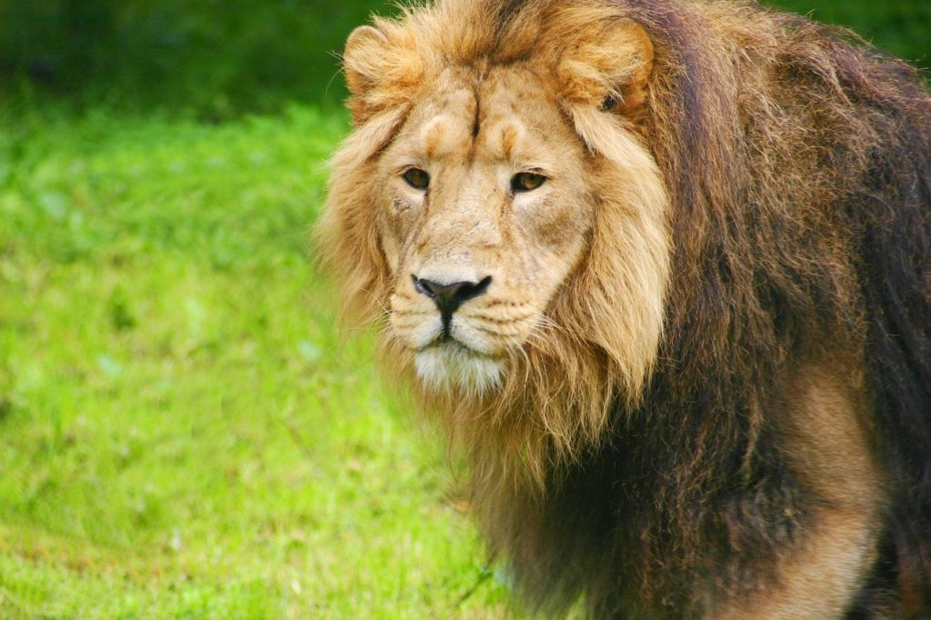 Photo of a lion at Chester Zoo