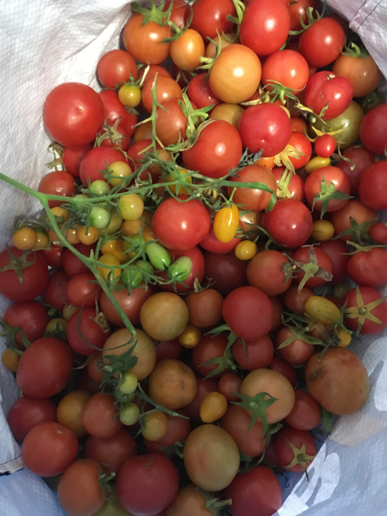 Photo tomatoes grown at New Pines' allotment