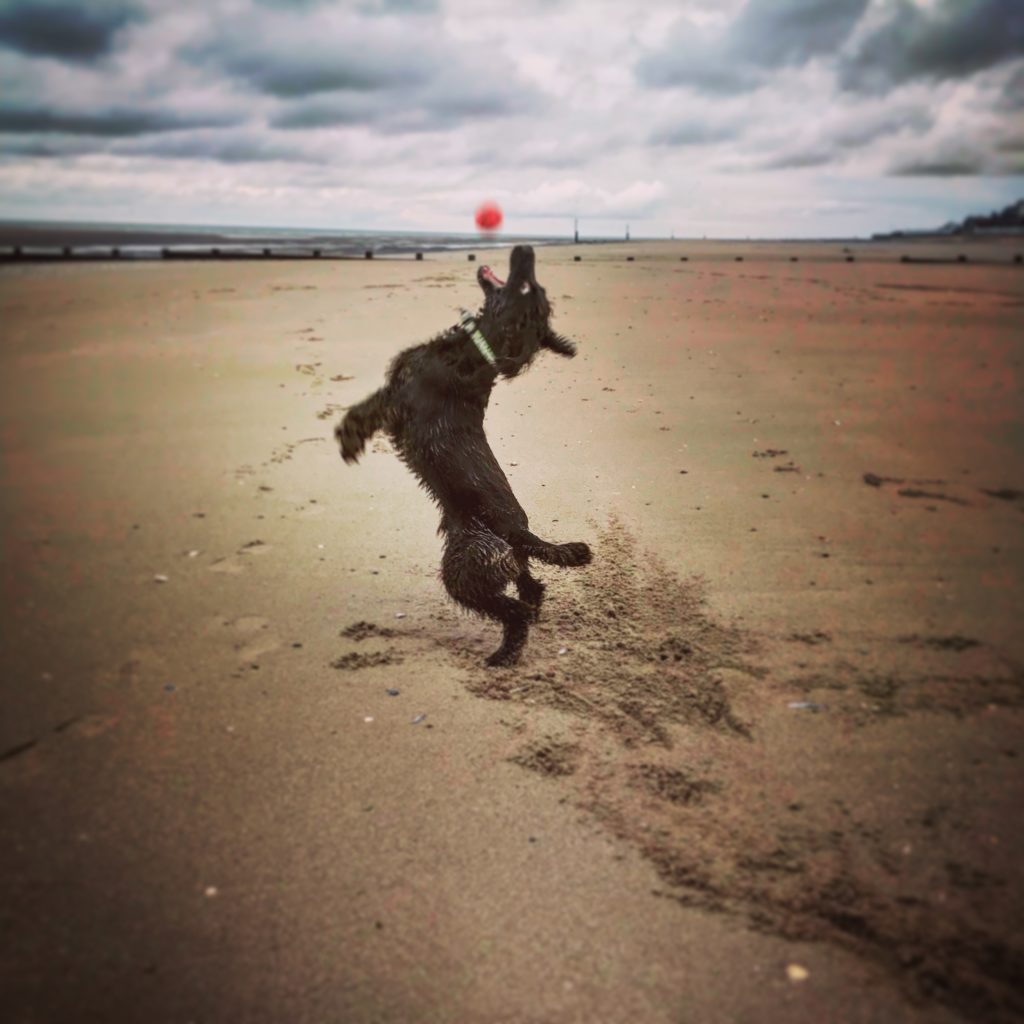 Dog jumping to catch a ball on Rhyl beach