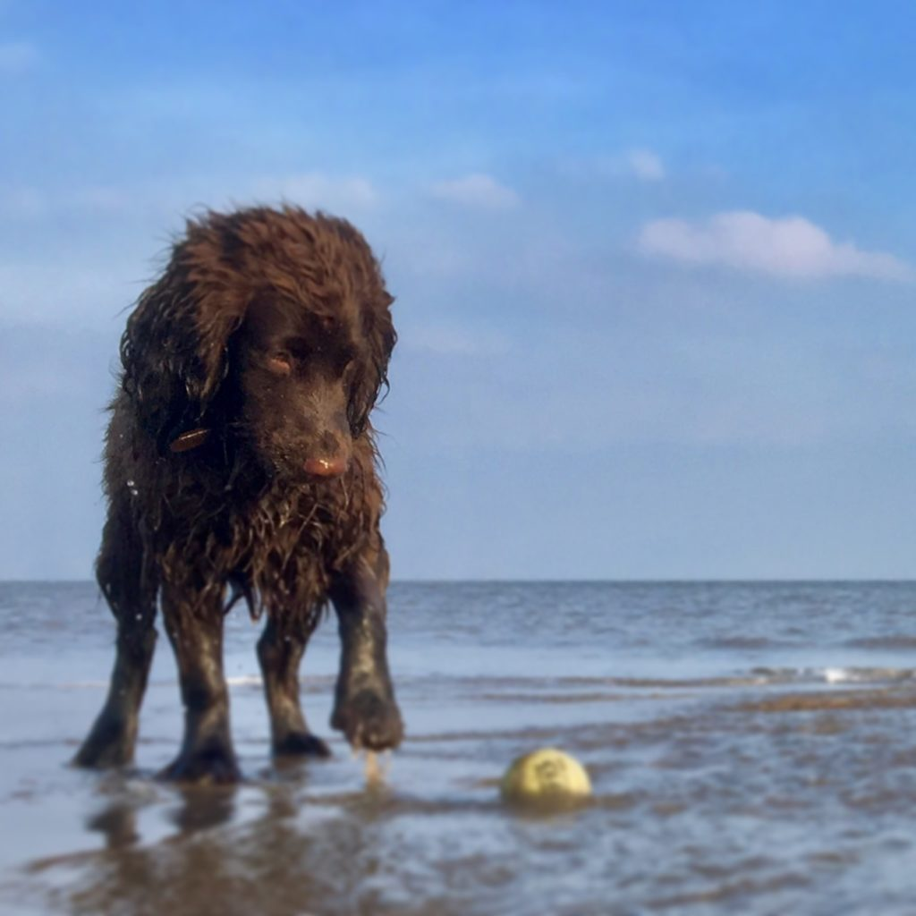 Dog playing with a ball in the sea at Rhyl Beach