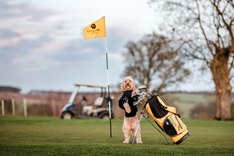 Cockapoo Marley on the KP golf course