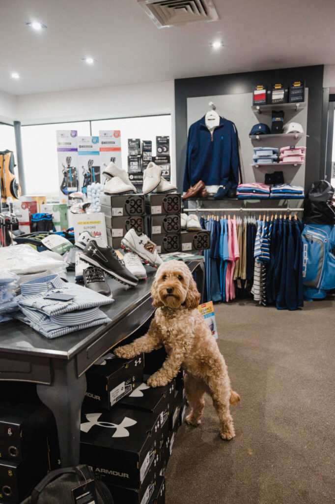 Cockapoo Marley in the golf shop