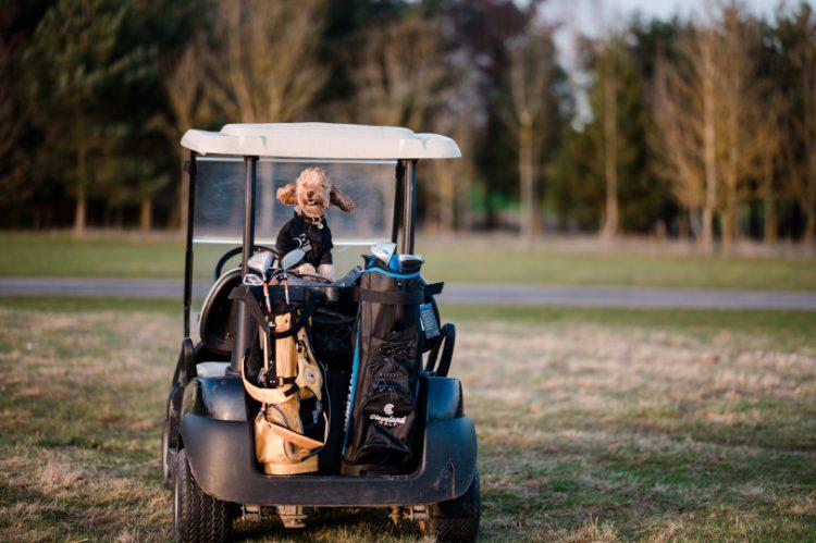 Cockapoo Marley in a golf buggy