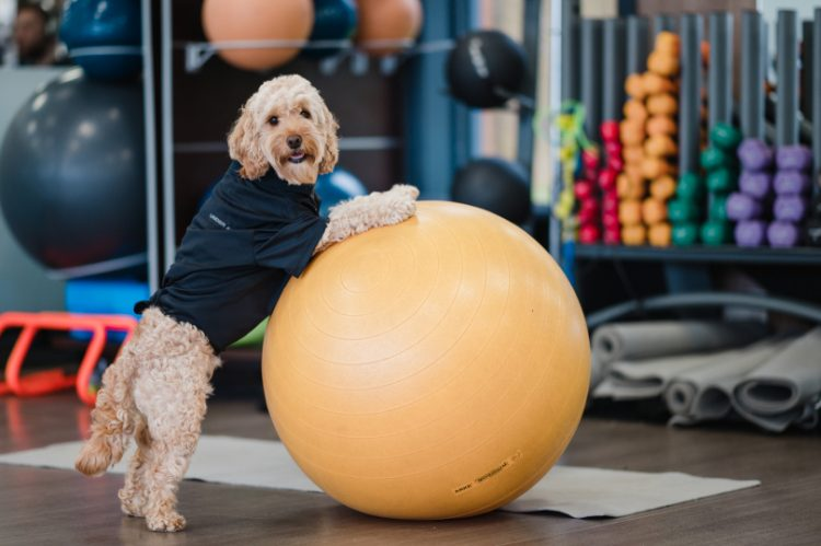 Cockapoo Marley stood on a exercise ball
