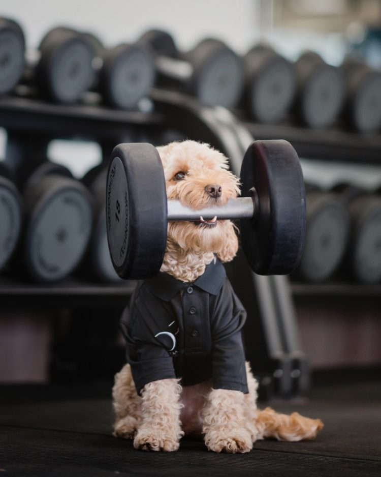 Cockapoo Marley holding a dumbbell