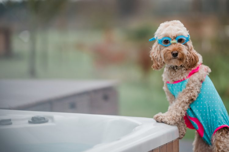 Cockapoo Marley wearing swimming goggles by a hot tub