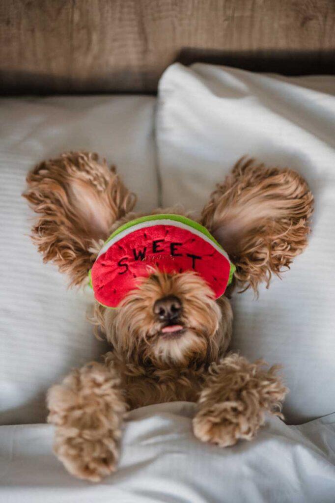 Cockapoo Marley lying in bed wearing an eye mask