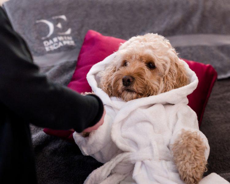 Cockapoo Marley having a massage
