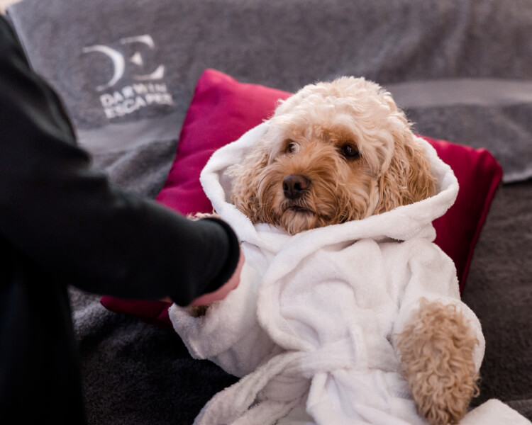 Cockapoo Marley having a paw massage