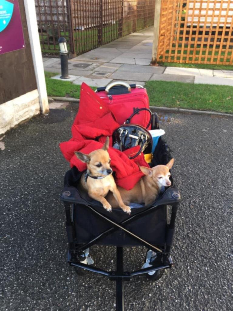 two little dogs in a pram