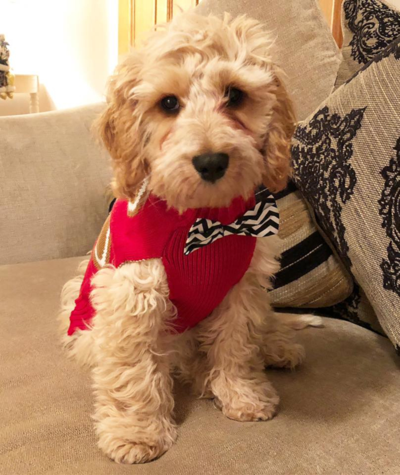 little puppy with jumper on
