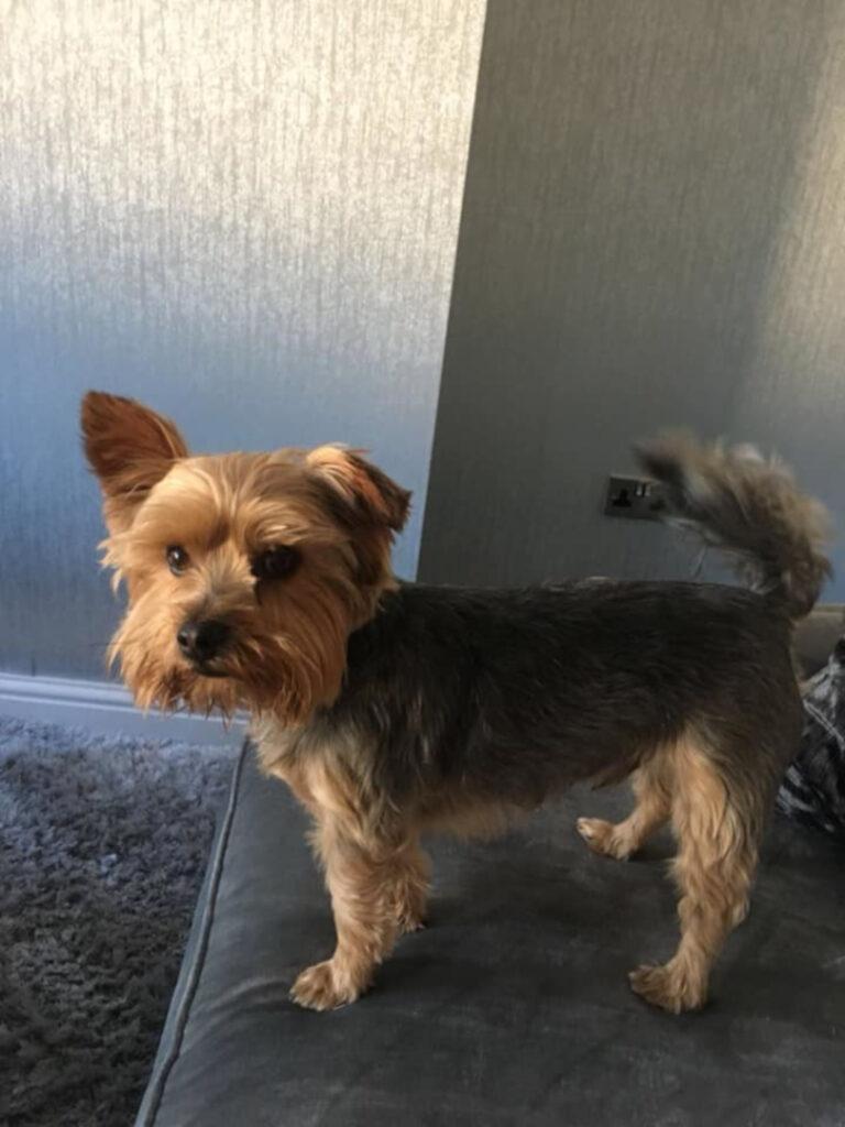 yorkshire terrier dog on sofa