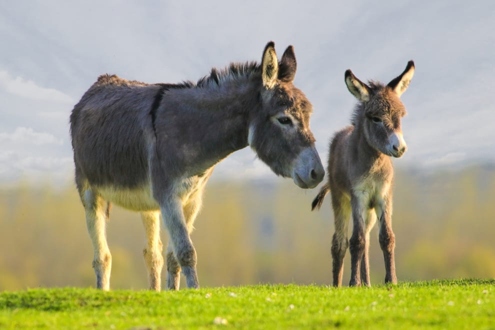 grey baby donkey standing with mother in a meadow