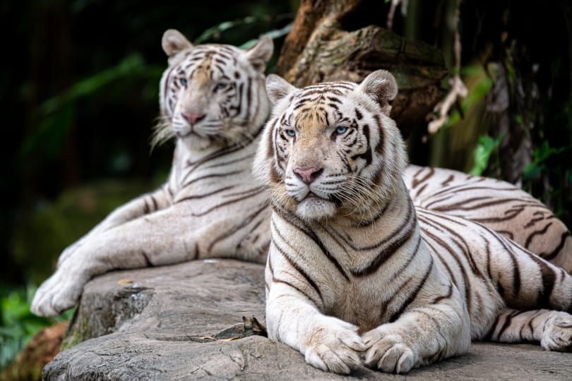White Tigers relaxing in the zoo. One in the foregrand laying down and one behind laying down.